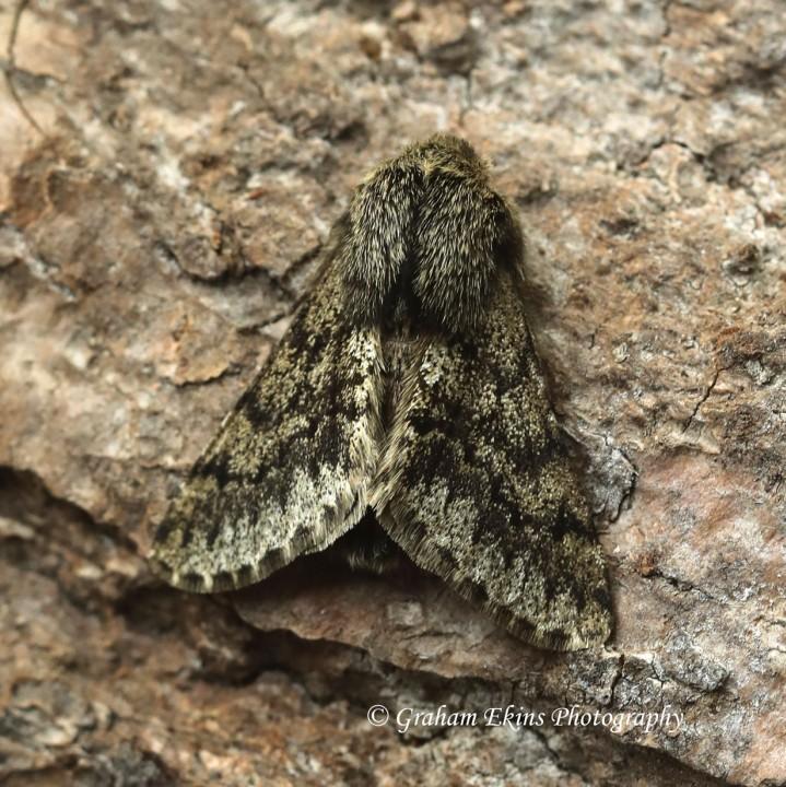 Small Brindled Beauty Apocheima hispidaria Copyright: Graham Ekins