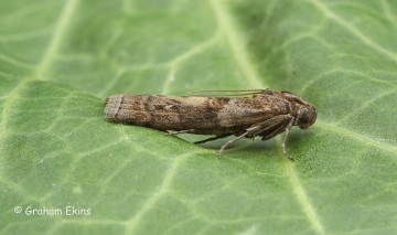 Phycita roborella 4 Copyright: Graham Ekins