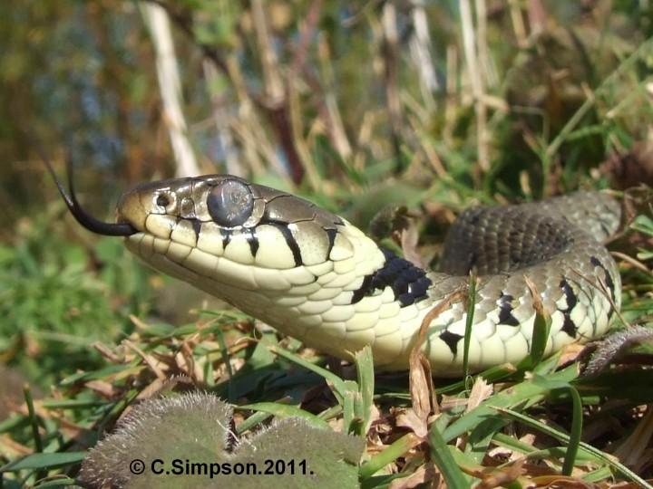 Natrix natrix helvetica Copyright: Colin Simpson
