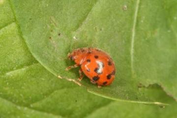Subcoccinella vigintiquattuorpunctata Copyright: Peter Harvey
