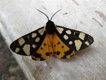 Cream Spot Tiger Copyright: Stephen Rolls