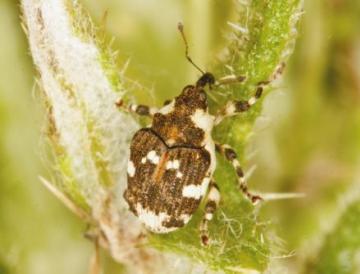 Haploplontus trimaculatus Copyright: Peter Harvey