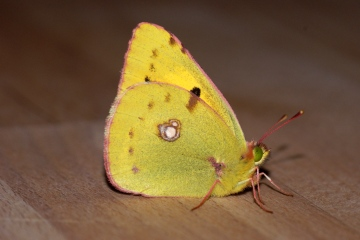 Clouded Yellow 2 Copyright: Ben Sale