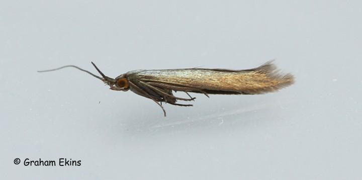 Coleophora amethystinella  2 Copyright: Graham Ekins