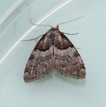 Nola cucullatella  Short-cloaked Moth 1 Copyright: Graham Ekins