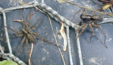 Pardosa amentata male and female Copyright: Unknown
