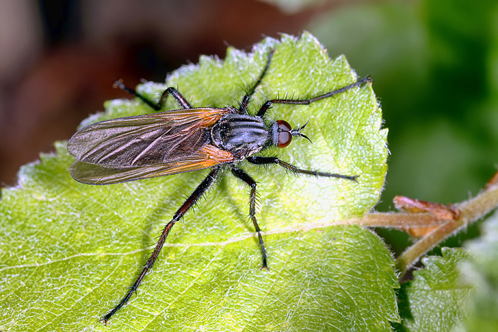 Empis tessellata - (8 May 2011) Copyright: Leslie Butler