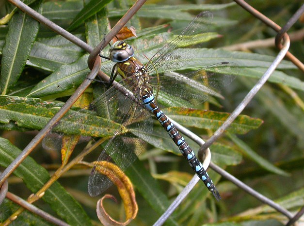 Migrant Hawker Copyright: Malcolm Riddler