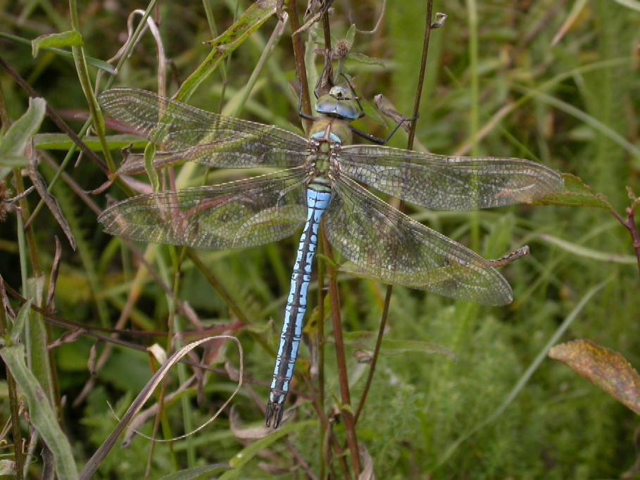 Emperor Dragonfly wtcp Copyright: Malcolm Riddler