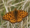 Dark Green Fritillary (male) Copyright: Robert Smith