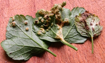 Plant Gall on Alexanders 2 Copyright: Graham Smith