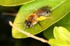 Andrena tibialis Copyright: Peter Harvey