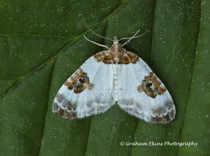 Plemyria rubiginata   Blue-bordered Carpet 4 Copyright: Graham Ekins