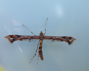 Amblyptilia acanthadactyla Copyright: Martyn Everett