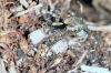 Pardosa amentata - female2 (8 May 2011) Copyright: Leslie Butler