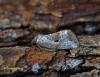 Rosy Marbled Elaphria venustula 1 Copyright: Graham Ekins