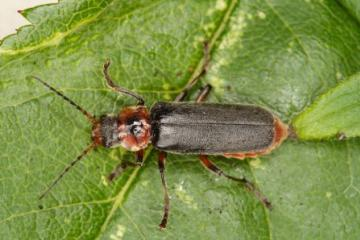 Cantharis rustica Copyright: Peter Harvey