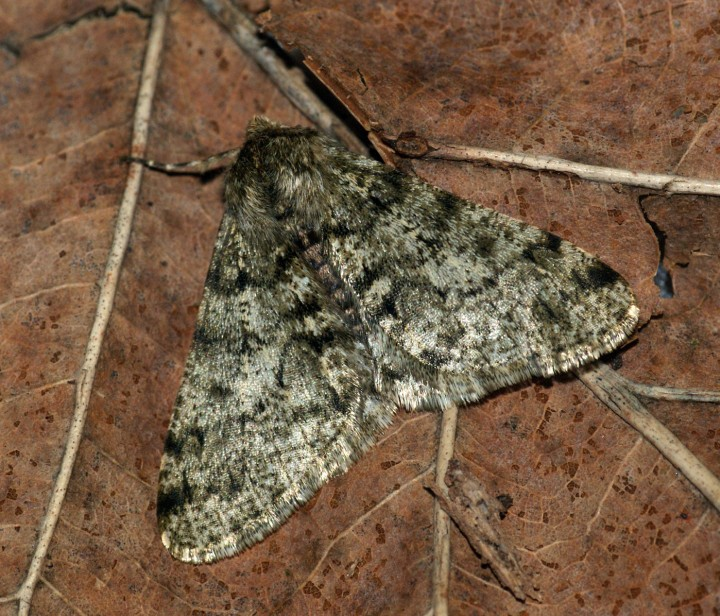 Pale Brindled Beauty 2 Copyright: Ben Sale