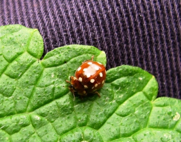Cream Spot Ladybird Copyright: Graham Smith