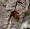 exuvia in situ - Oak stump Copyright: Robert Smith