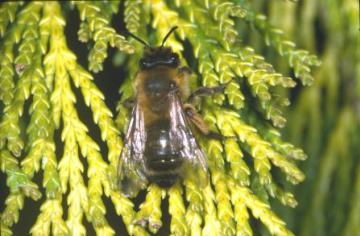 Andrena nigroaenea