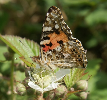 Painted Lady (underside) Copyright: Robert Smith