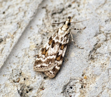 Scoparia pyralella 2 Copyright: Ben Sale