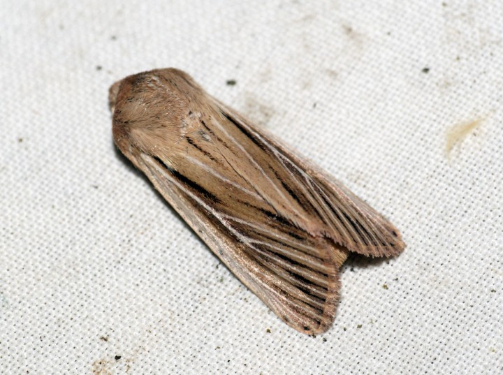 Shoulder-striped Wainscot 2 Copyright: Ben Sale