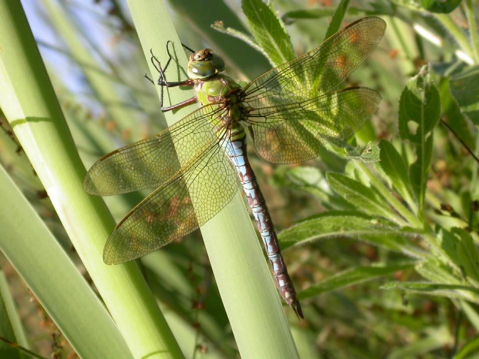 Emperor Dragonfly Copyright: Malcolm Riddler