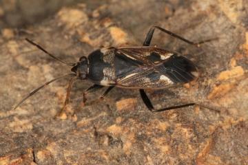 Rhyparochromus vulgaris at Mayesbrook Park Copyright: P.R. Harvey