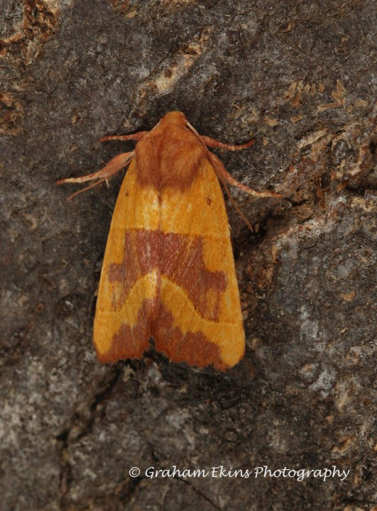Centre-barred Sallow  Atethmia centrago Copyright: Graham Ekins