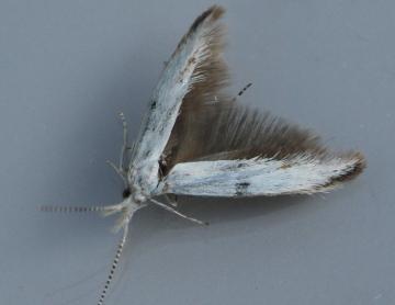 Coleophora ibipennella 3 Copyright: Graham Ekins