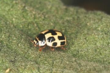 Propylea quattuordecimpunctata-1 Copyright: Peter Harvey