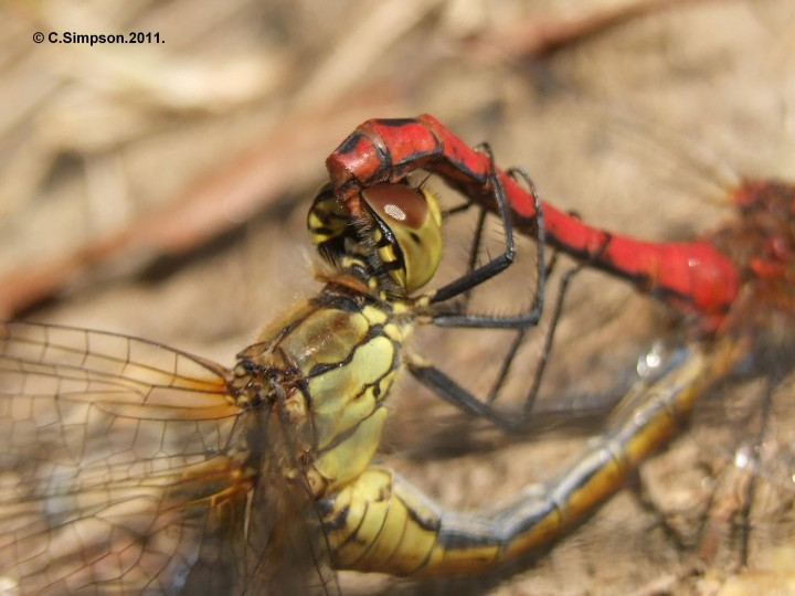 Sympetrum striolatum. Copyright: Colin Simpson