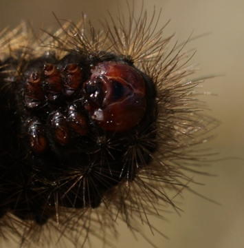 head - final instar Copyright: Robert Smith