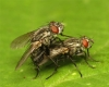 Sarcophaga nigriventris pair 20170630-7989 Copyright: Phil Collins
