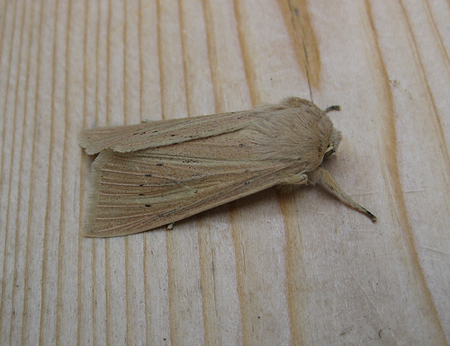 Large Wainscot. Copyright: Stephen Rolls