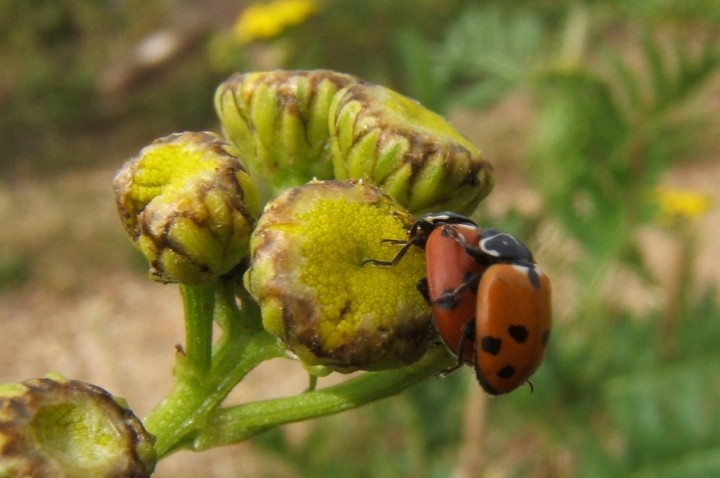 Adonis' Ladybird Copyright: Peter Pearson
