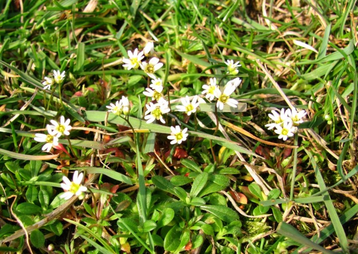 Common Whitlow Grass Copyright: Graham Smith