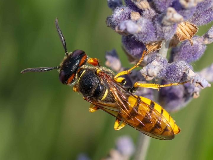 Bee Wolf Philanthus triangulum 6th July 2018 Copyright: Alan Shearman