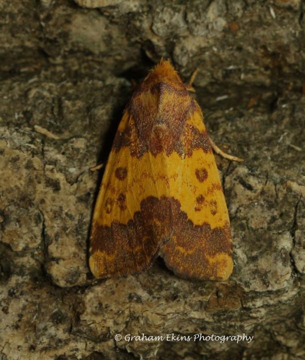 Barred Sallow Tiliacea aurago Copyright: Graham Ekins
