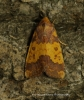 Barred Sallow Tiliacea aurago Copyright: Graham Ekins