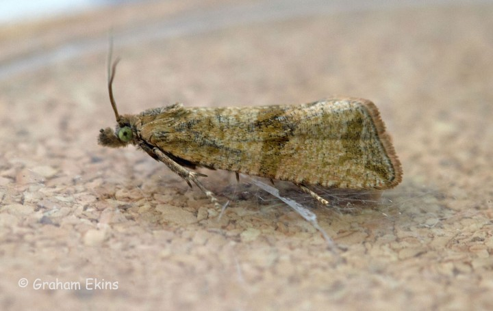 Celypha striana 7 Copyright: Graham Ekins
