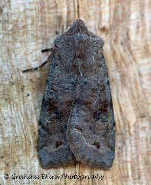 Clouded Drab 8 Copyright: Graham Ekins