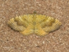 Yellow Shell  Camptogramma bilineata Copyright: Graham Ekins