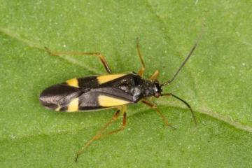Dryophilocoris flavoquadrimaculatus Copyright: Peter Harvey