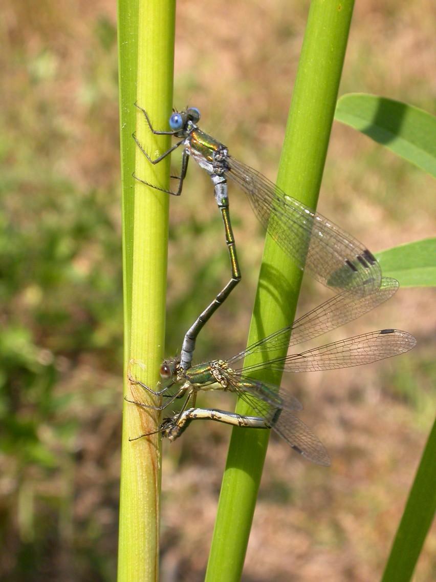 Emerald Damselfly (Lestes sponsa) Copyright: Malcolm Riddler