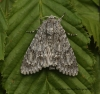 Acronicta aceris  Sycamore 7 Copyright: Graham Ekins