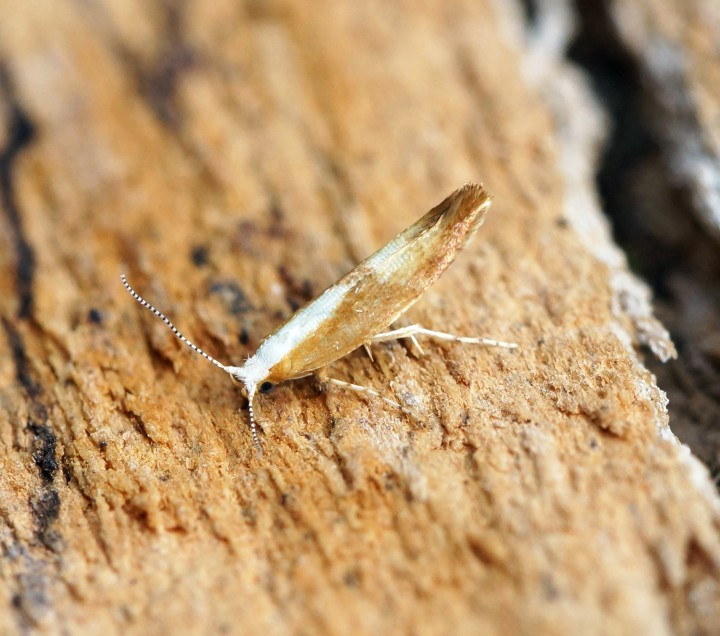 Argyresthia semitestacella Copyright: Ben Sale