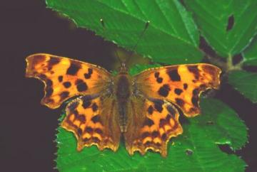 Polygonia c-album Copyright: Peter Harvey